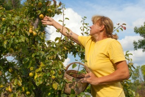Picking of pears.